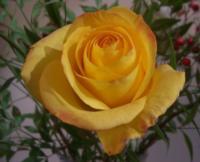 ggt_rose